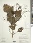 Adenostemma platyphyllum Cass