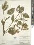 Chromolaena laevigata (Lam.) R.M. King & H. Rob.