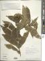 Chromolaena opadoclinia (Blake) R.M. King & H. Rob.