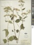 Ageratina aromatica (L.) Spach