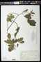 Pristimera celastroides (Kunth) A.C. Sm