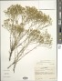 Gutierrezia sarothrae (Pursh) Britton & Rusby