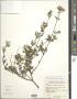 Ageratina glechonophylla (Less.) R.M. King & H. Rob.