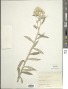 Pseudognaphalium elegans (Kunth) Kartesz