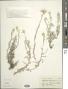 Gnaphalium vira-vira Molina