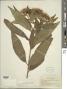 Pluchea carolinensis (Jacq.) G. Don