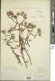 Inula stenophylla Sennen & Pau