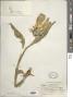 Wyethia helenioides (DC.) Nutt