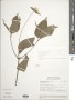 Elaphandra eggersii (Hieron.) H. Rob