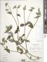 Synedrella nodiflora (L.) Gaertn