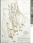 Porophyllum scoparium A. Gray