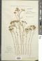 Tanacetum argenteum