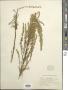Artemisia dracunculoides Pursh