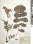 Packera sanguisorboides (Rydb.) W.A. Weber & Á. Löve