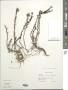 Pentacalia teretifolia (Kunth) Cuatrec