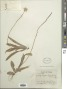Krigia dandelion (L.) Nutt