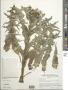 Sonchus asper (L.) Hill