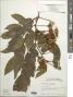Inga vera Willd. subsp. vera