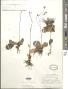 Hieracium fendleri subsp. fendleri Sch. Bip
