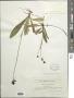Hieracium aurantiacum L.