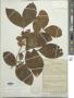 Cojoba rufescens (Benth.) Britton & Rose