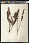 Marcetia taxifolia (A. St.-Hil.) DC.