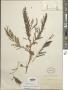 Vachellia macracantha (Humb. & Bonpl. ex Willd.) Seigler & Ebinger