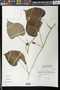 Stictocardia tiliifolia (Desr.) Hallier f