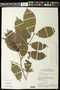 Rinorea pubiflora (Benth.) Sprague & Sandwith