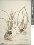 Carex laxiflora Lam.