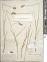 Carex merritt-fernaldii Mack