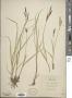 Carex salina Wahlenb.