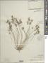 Cyperus papyrus L