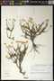 Chrysocoma cf. oblongifolia DC