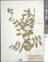 Lathyrus polyphyllus Nutt