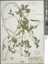 Strophostyles helvola (L.) Elliott