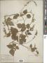 Rhynchosia longeracemosa M. Martens & Galeotti