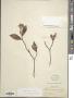 Gardenia augusta (L.) Merr