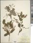 Chiococca alba subsp. alba (L.) Hitchc