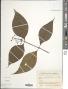 Psychotria involucrata
