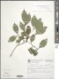Psychotria suterella Müll. Arg