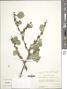 Sideroxylon celastrinum (Kunth) T.D. Penn
