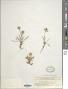 Phyteuma pauciflorum L.