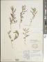 Chamaecrista nictitans var. mensalis (Greenm.) H.S. Irwin & Barneby