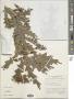 Bossiaea phylloclada F. Muell