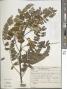 Spathodea campanulata P. Beauv.