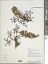 Lupinus lindleyanus J. Agardh