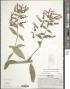 Lobelia laxiflora Kunth