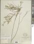 Desmodium angustifolium (Kunth) DC