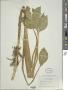 Menyanthes trifoliata L